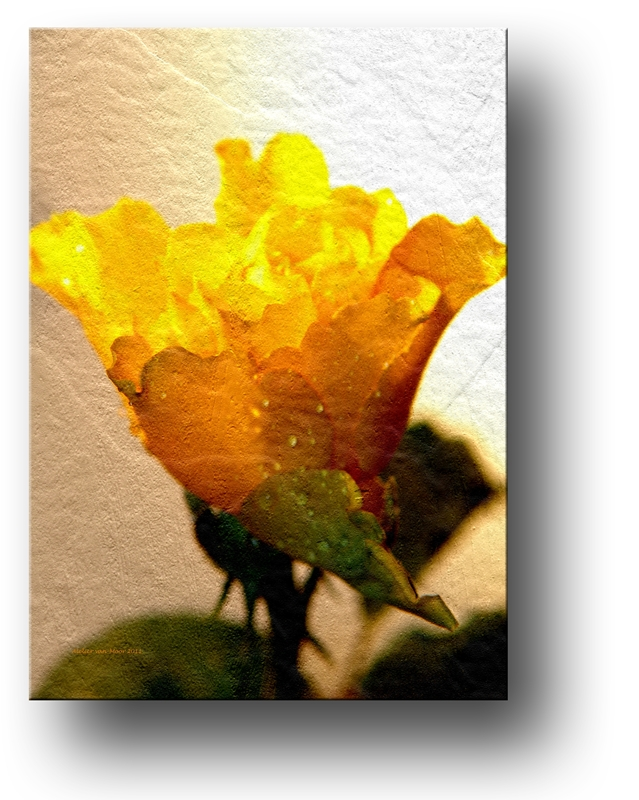 yellow rose (2011)